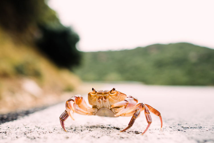 close up photography Animal Animal Themes Animal Wildlife Animals In The Wild Beach Close-up Crab Crustacean Day Focus On Foreground Invertebrate Land Marine Nature No People One Animal Outdoors Sand Sea Life Zoology