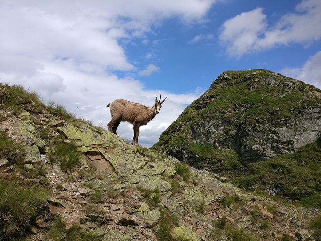 Animal Wildlife Animals In The Wild Animal Themes One Animal Cloud - Sky Day No People Outdoors Mammal Sky Low Angle View Nature Full Length Nature Holidays Mountain Adventure Tatra Mountains Poland Goat Grass Area
