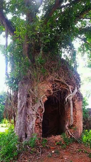 An old temple is swallowed by a banana tree.... Old Temple Hindu Temple Banana Tree Temple Under A Banana Tree