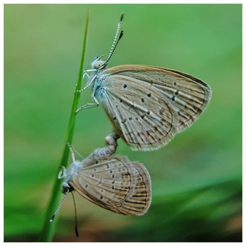 Coupled Photography Photographylovers Hobby Close-up Close Up Photography Macro Macro Photography Insect Animal Themes Close-up Butterfly - Insect Animal Antenna Butterfly