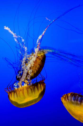Golden jellyfish floating against a royal blue background. Omaha, Nebraska Animal Themes Animal Wildlife Aquarium Beauty In Nature Blue Close-up Day Golden Jellyfish Floating Jellyfish Multiple Jellyfish Nature No People Sea Sea Life Swimming UnderSea Underwater Vertical Composition Water