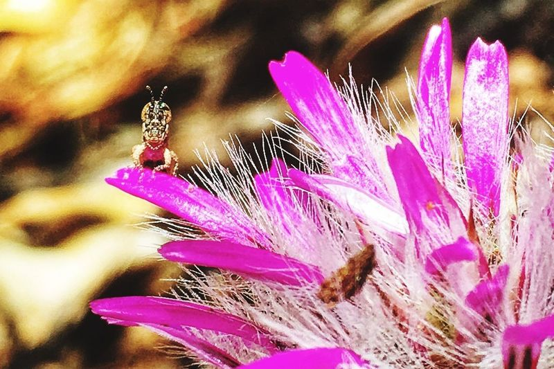 Spot the photo bomber? Tiny grasshopper insect on a bright pink flower in south Western Australia. Grasshopper, Insect, Tiny Flower Insect Fragility One Animal Nature Animals In The Wild Pink Color