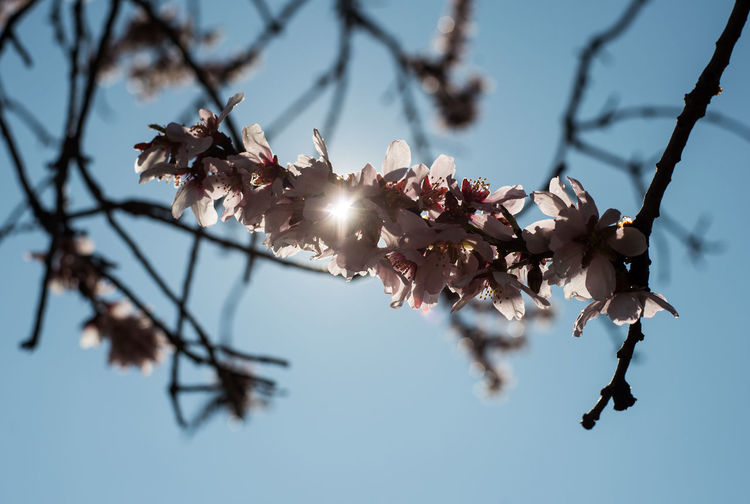 Low angle view of cherry blossom against clear sky