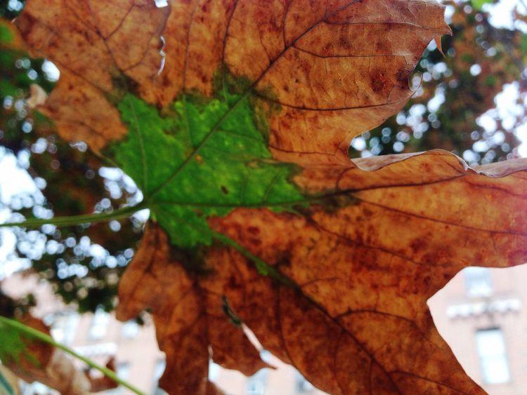 Autumn's Artival Autumn Natural Pattern Leaf Nature Leaf 🍂 Maple Leaf Leaves🌿