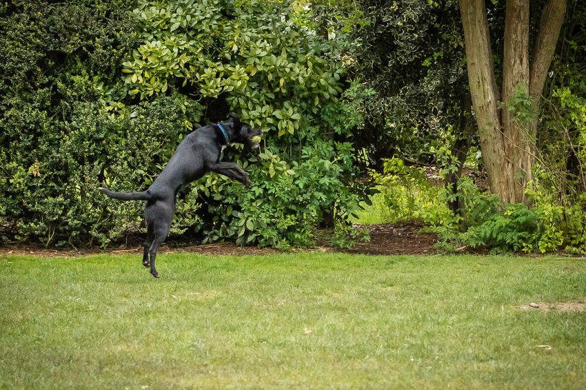 Ball Beauty In Nature Catch Day Dog Field Grass Grassy Green Green Color Growth Jaw Jump Landscape Leap Lush Foliage Mammal Mouth Nature No People Outdoors Plant Tranquil Scene Tranquility Tree