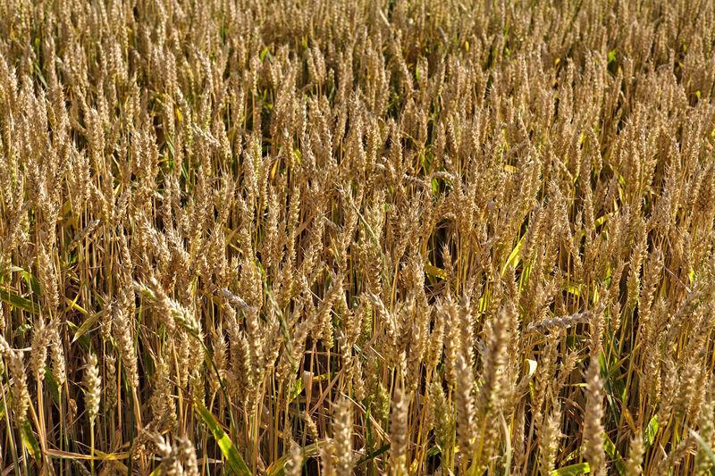Wheat Full