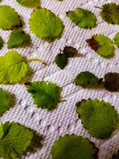 Leaf Plant Green Color Close-up Paper Towel White Leaves Lemon Balm Tea Ingredient Texture Background Drying Drying Leaves Herbs Herb Closeupshot Close Up Leaf Pattern Leafy Leaves Closeup Freshness Fresh Fresh Herbs  EyeEmNewHere