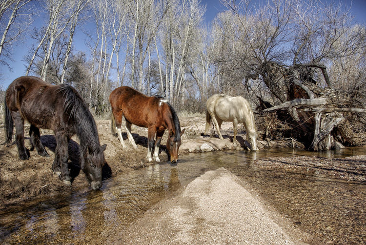 Horses drinking water from stream at forest
