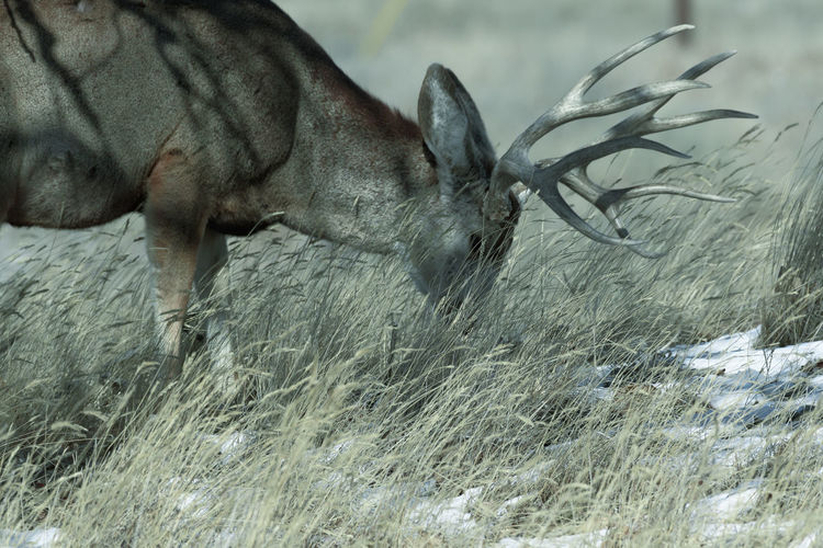 Male mule deer grazing on a sunny winter day near Denver, Colorado One Animal Animal Themes Animal Mammal Domestic Animals Vertebrate Animal Wildlife Pets Plant No People Domestic Grass Field Nature Animals In The Wild Land Day Motion Canine Dog Animal Head  Herbivorous