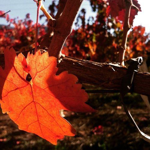 Que lindos los colores de Otoño ❤️🌞 Instawine WinesOfChile Harvest con el pololo más lindo 💕