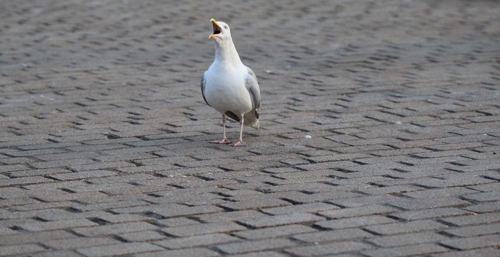 Bird Seagull Wildlife Harbourside