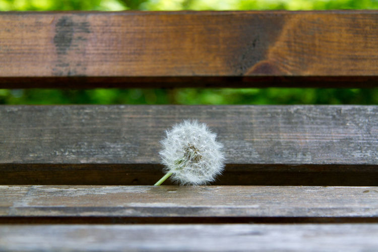 Close-up of dandelion on wet bench