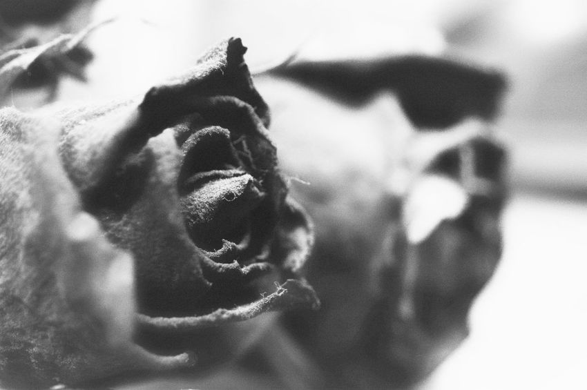 Old dryed roses Black And White Close-up Day Eye Level View Flowers Indoors  No People Unnatural Lights