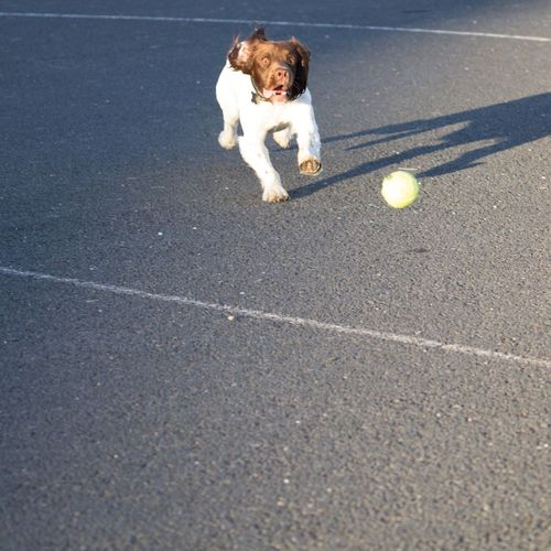 Dog playing with ball on street