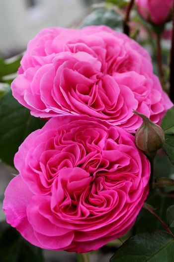 Roses Flowers Garden Photography Pink Flowers,Plants & Garden