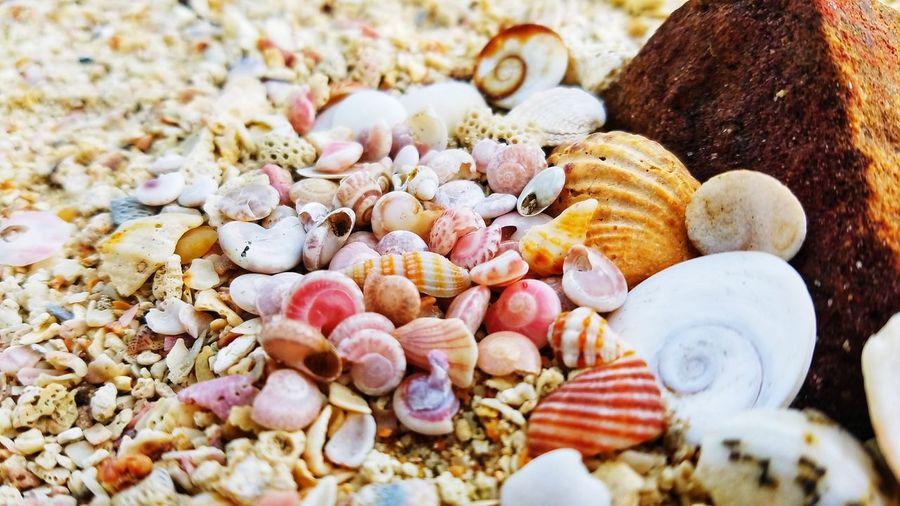 Seashell Sea Life Beauty In Nature