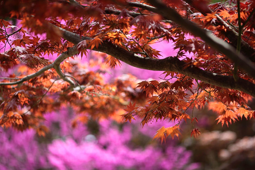 Autumn Plant Beauty In Nature Growth Tree Autumn Change No People Nature Flower Branch Flowering Plant Pink Color Leaf Plant Part Vulnerability  Day Close-up Outdoors Selective Focus Fragility Purple Maple Leaf Leaves Natural Condition Autumn