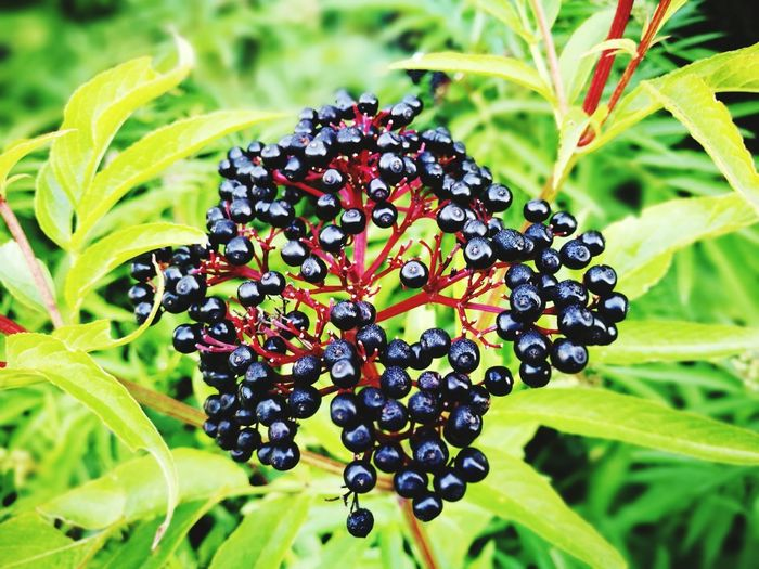 Fruit Leaf Nature Green Color Plant Food And Drink Outdoors Grape Agriculture Close-up Beauty In Nature Growth Freshness Black Color No People Healthy Eating Day Food Red