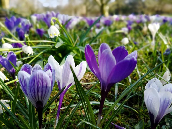 Crocuses growing in spring Crocuses Crocus Flower Crocuses In Spring Crocuses Spring Blue Crocusse Crocus Flower Head Flower Springtime Petal Purple Close-up Plant In Bloom Plant Life Blooming Pollen Iris - Plant Botany Blossom Flowering Plant