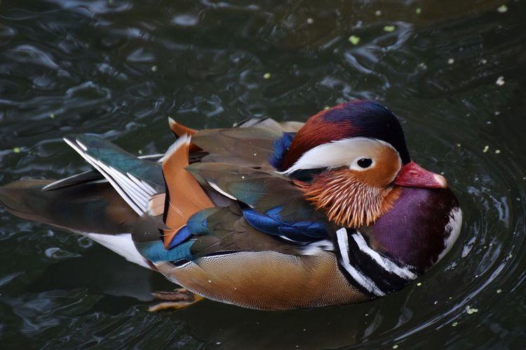 mandarin duck Bird Swimming Water Mandarin Duck Multi Colored Closing UnderSea Close-up