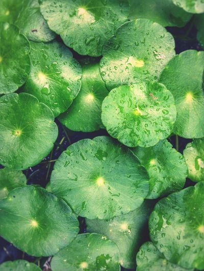 Spade Leaf Gotocola Centella Sp Aquatic Plants Raindrops Pattern Pieces Green Green Green!  Medicinal Plant Randomshot Olloclip IPhone Photography Eyeem Philippines