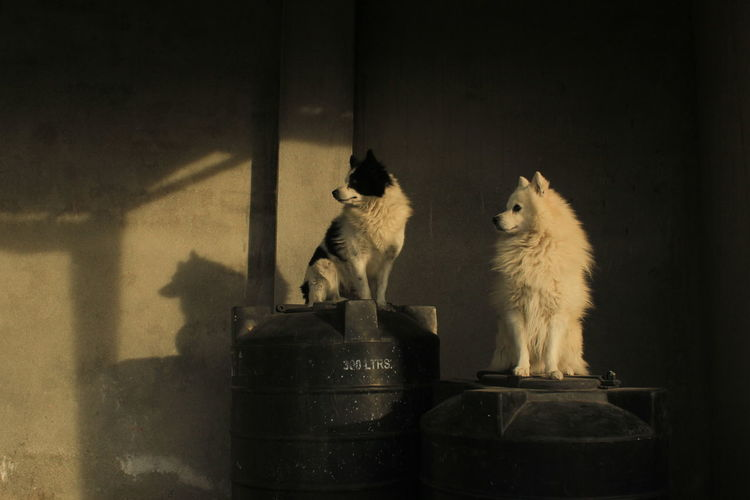 Dogs Sitting On Drums Against Wall