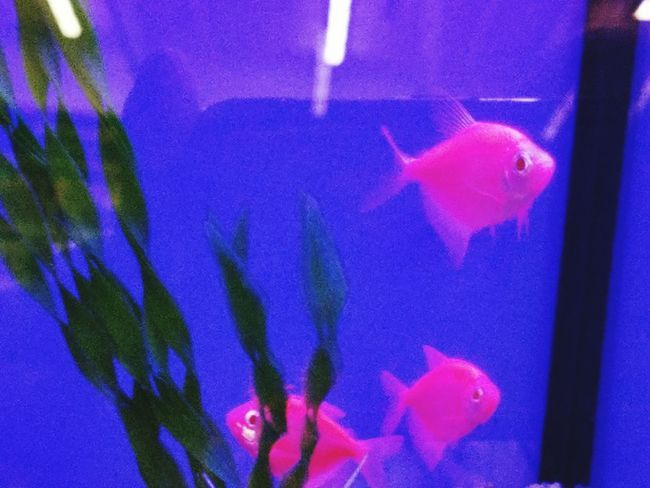 GLO Fish@ Localpetsto Underwater Photography