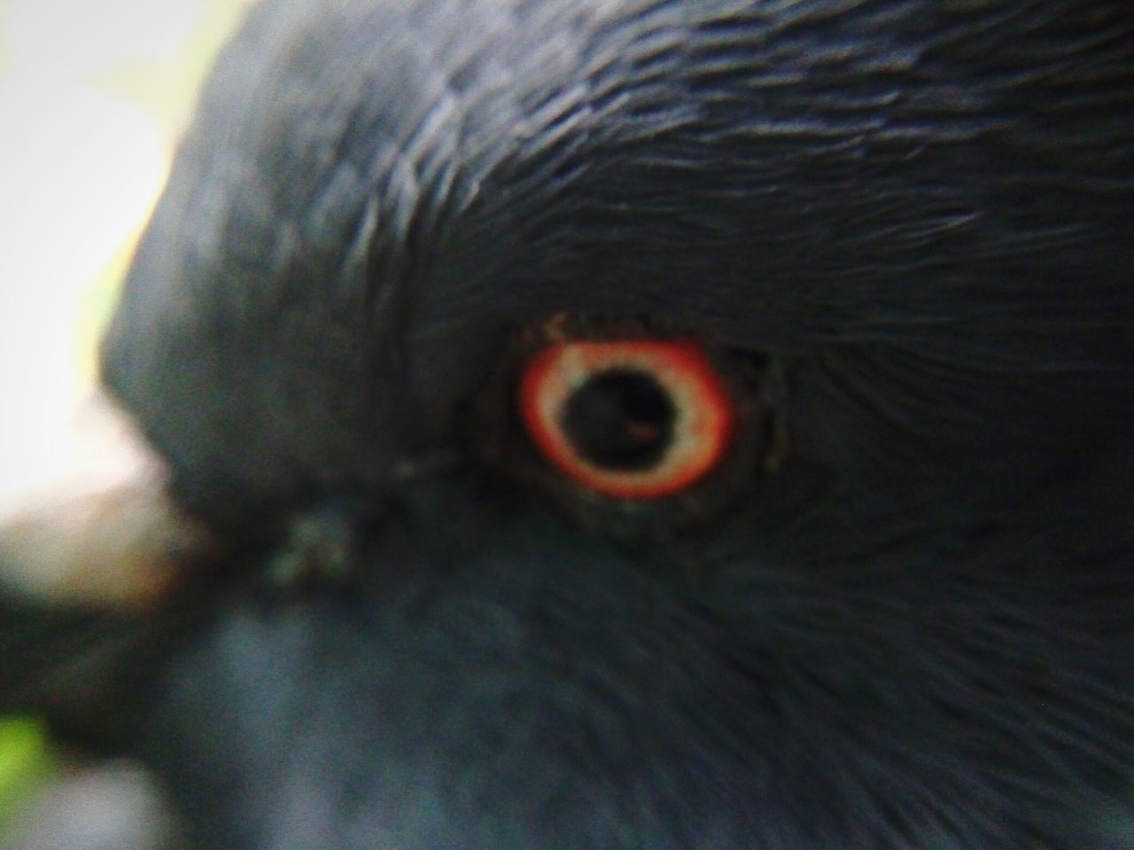one animal, close-up, animal head, animal eye, animal themes, looking at camera, portrait, bird, eyeball, beak, animals in the wild, no people, iris - eye, outdoors, eyesight, day, nature, bird of prey, mammal
