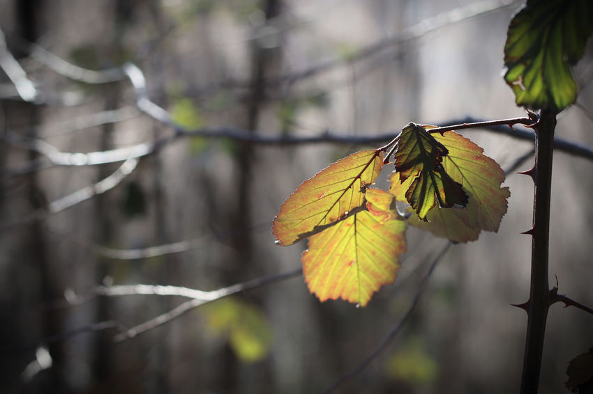 Beauty In Nature Branch Close-up Focus On Foreground Fragility Grey And Yellow Leaf Light In The Woods Nature Outdoors Thorns Smart Simplicity