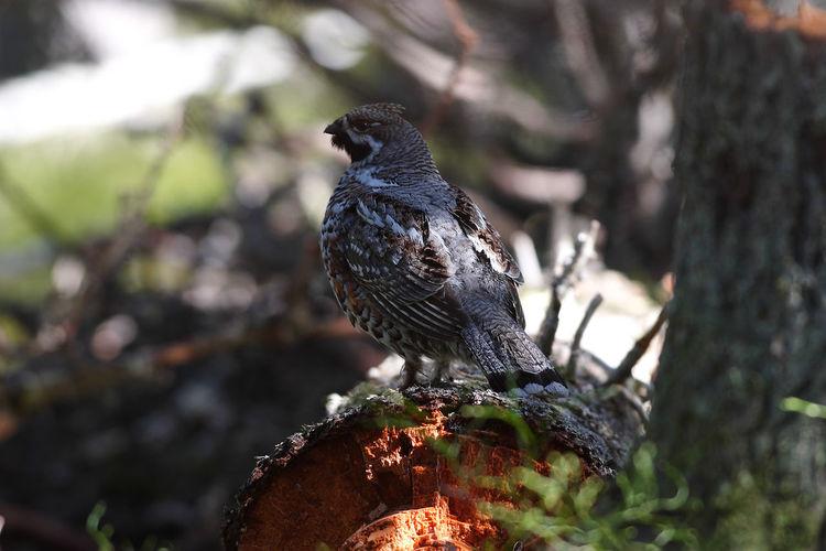 Animal Themes Animals In The Wild Bird Bonasa Bonasia Hazel Grouse Nature One Animal Tree Trunk