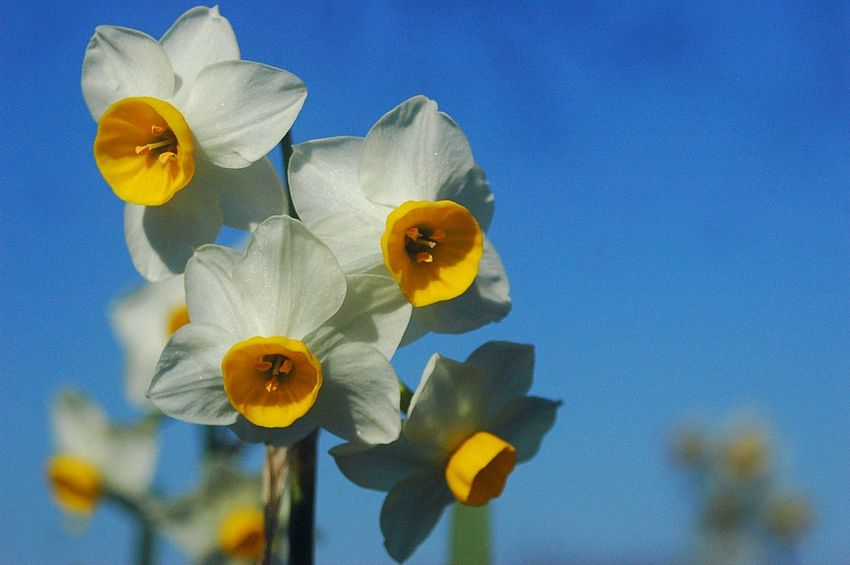 Narcissus Flowers Flower Collection EyeEm Nature Lover EyeEm Flower Fleshyplants Winter Blue Sky Flowerporn