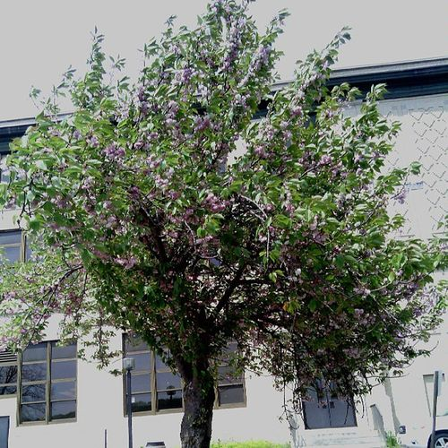 Pretty tree in the back of my school. I think its a cherry blossom tree Confused Notsure Pretty