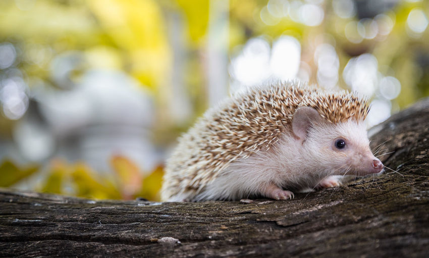 Close-up of hedgehog on wood