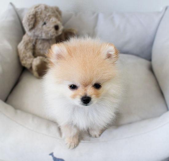 Animal Themes Cream Pomeranian Dog Indoors  One Animal Pets Pomeranian Puppy Young Animal EyeEmNewHere
