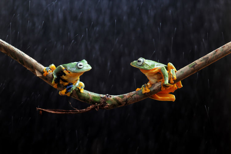 tree frogs on twigs Animal Wildlife Animal Animal Themes Animals In The Wild Vertebrate Close-up Focus On Foreground One Animal No People Nature Outdoors Day Amphibian Tree Plant Parrot Yellow Reptile