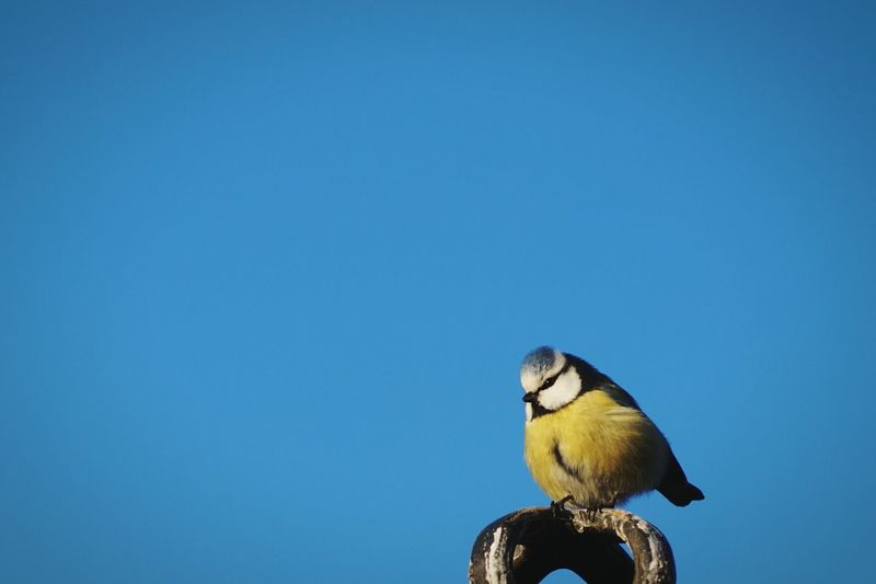 Low angle view of bluetit perching against clear blue sky