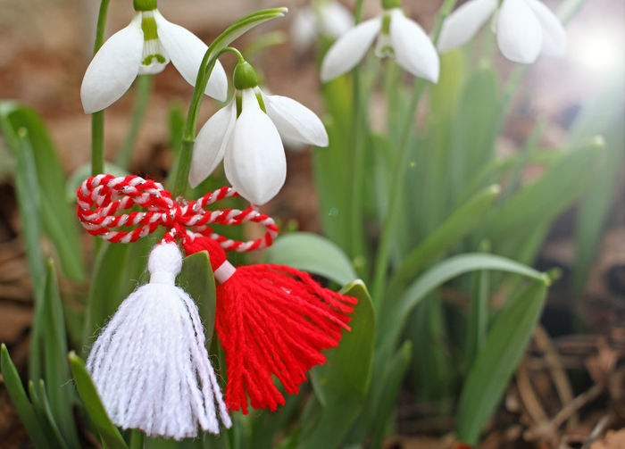 Snowdrops and martenitsa. Symbols of spring. White snowdrop flowers and martisor. Baba Marta holiday. Tradition in Bulgaria. Baba Marta Day. Wallpaper of spring flowers and martenitsa. Baba Marta day. martisor, martenitsa, march, snowdrop, tradition, spring, red, white, bulgaria, bulgarian, traditional, background, martenica, symbol, decoration, 1st, folklore, custom, happiness, culture, national, costume, handmade, luck, thread, selective, folk, convention, holiday, snowdrops, baba, healthy, man, dress, couple, path, focus, craft, clipping, fiber, wool, typical, wishes, dolls, flower, green, cord, Baba Marta Day, Martenitsas, romania Baba Marta Baba Marta V Bulgaria Bułgaria Tradition Martenitsa Martenica Martisor Good Health Threads Red And White Wool Pijopenda Pijo Penda Beauty In Nature Snowdrop Snowdrops Flower Sprind Galanthus Nivalis Nature Day Baba Marta Day Season  Holiday