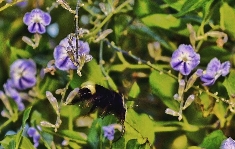 Bumblebee EyeEm Flower EyeEm Nature Lover EyeEm Gallery Eyeem Insects