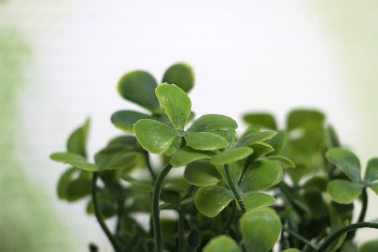 Fourleafclover🍀 Artificial Flower Leaf Plant Green Color Nature Herb Close-up No People Growth Indoors  Freshness Defocused Day White Background Beauty In Nature