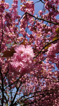Cherry blossoms at it's best! Spring Springtime Spring Flowers spring into spring Blue Sky cityscapes City Life Nature In The City Flower Head Tree Flower Branch Springtime Backgrounds Pink Color Petal Blossom Cherry Blossom Cherry Tree