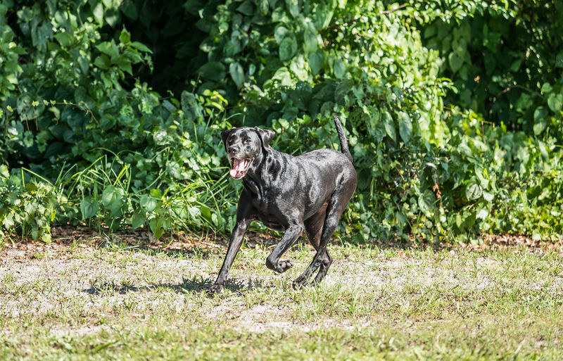 Large black dog running on grass with ears perked up and mouth open exposing tongue. Animal Animal Themes Black Color Canine Day Dog Domestic Domestic Animals Grass Green Color Growth Land Mammal Mouth Open Nature No People One Animal Outdoors Pets Plant Running Vertebrate