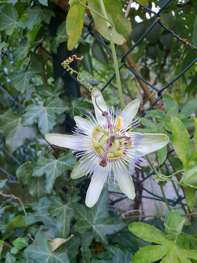 Beauty In Nature Close-up Day Flower Flower Head Flowering Plant Fragility Freshness Growth Inflorescence Leaf Nature No People Outdoors Passion Flower Petal Plant Plant Part Pollen Vulnerability  White Color