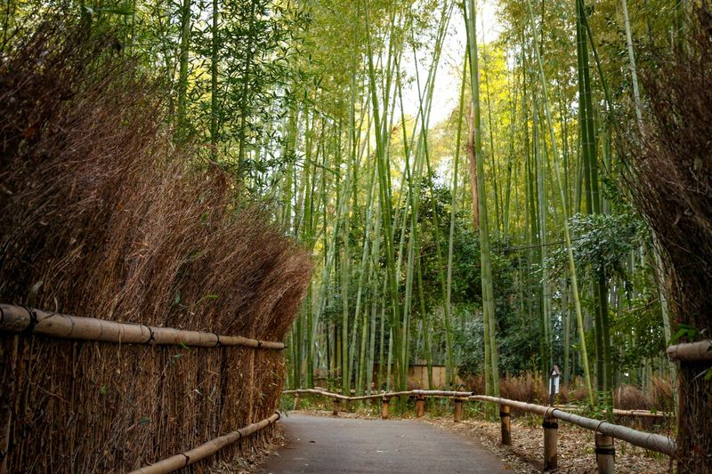 Kyoto,japan Japan Tree Nature Bamboo Grove Bamboo - Plant Forest Beauty In Nature Growth