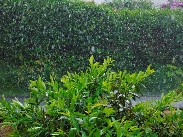 Agriculture Bad Weather Beauty In Nature Close-up Day Freshness Green Color Growth Hard Rain Leaf Nature No People Outdoors Plant Rainy Day Sunset Water