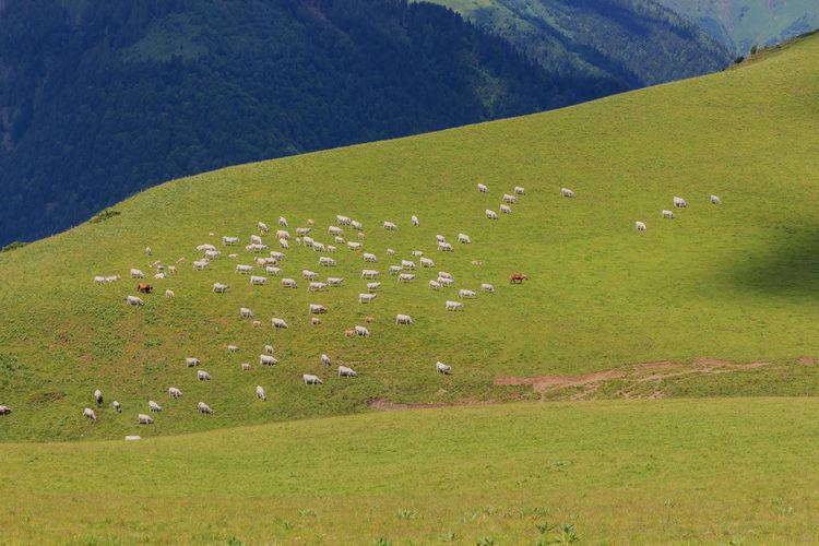 View of sheep grazing in grassy field