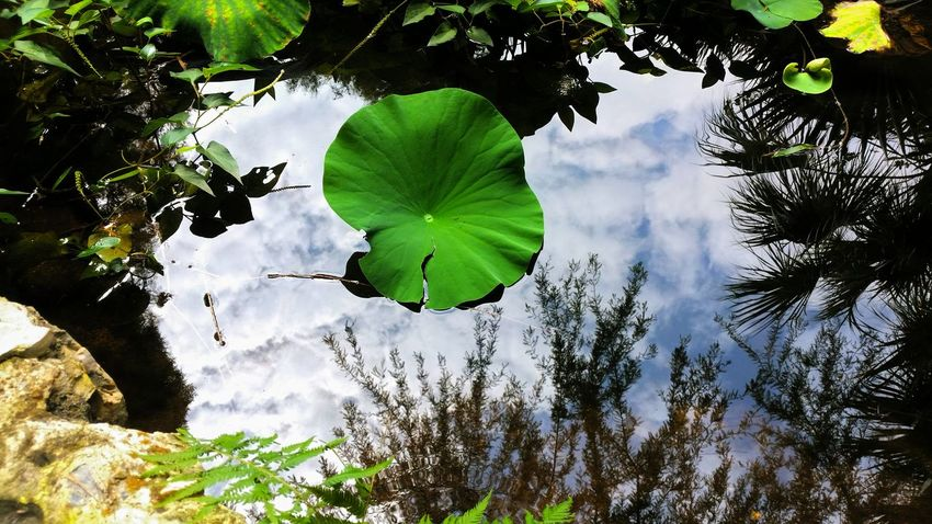 I lay there peacefully upon the pond surface, awaiting an inevitable change. Or wait. And wait. Or become the change? Hidden Peace Contemplating Zilker Botanical Garden Pond Reflection Greenery Becoming Change Clouds And Sky Ending Violence Nature Healing Feeling Frustrated Hello World Beauty In Nature Remember Orlando