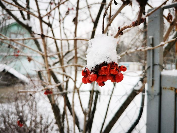 Close-up of red flower on snow covered plant