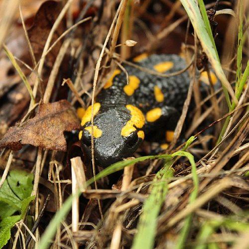 Salamandra Amphibian Animal Borzsony
