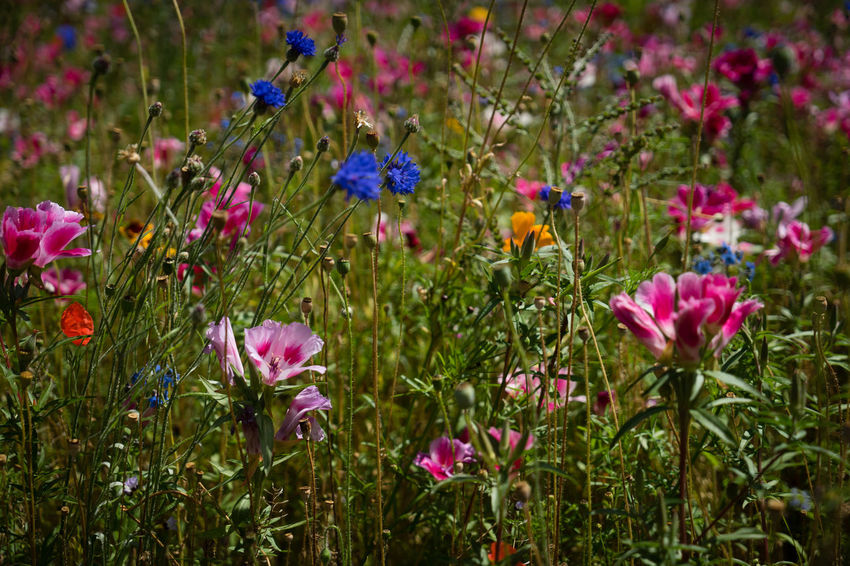 Multi-colored wildflowers in a field Abundance Beauty In Nature Blooming Blossom Close-up Day Field Flower Flower Head Fragility Freshness Growing Growth In Bloom Multi Colored Nature Outdoors Petal Pink Color Plant Scenics Selective Focus Springtime Tranquility Vibrant Color