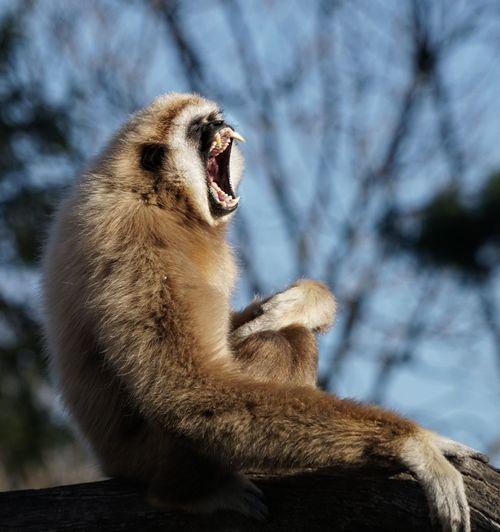Close-up of monkey yawning while sitting on tree trunk